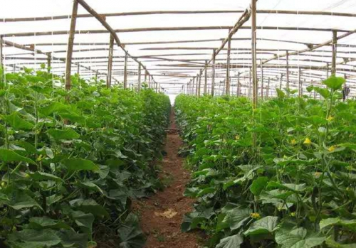 黄瓜种植基地