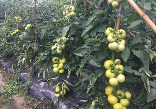 有机西红柿种植基地