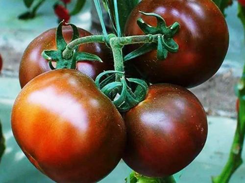 有机黑番茄