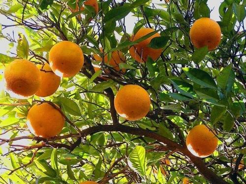 橙   子